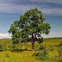Одинокий дуб. :: Анатолий