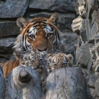 Тигрята :: Владимир Габов