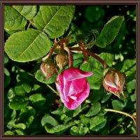 Майский розовый бутон :: Владимир Бровко