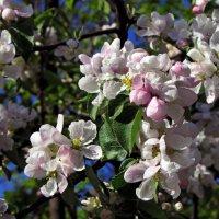 Бархатный яблочный аромат :: Ирина Румянцева