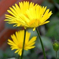 Желтые цветы. :: Михаил Столяров