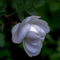 магия белой розочки :: gribushko грибушко Николай