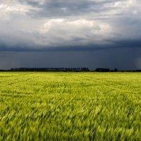 Поле пшеницы перед грозой :: Александр Довгий
