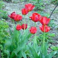 Тюльпаны :: Валентин Когун
