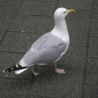 Городская асфальтовая чайка :: Марина Домосилецкая