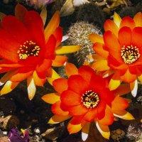 Кактусы в цвету! :: Aleks Ben Israel