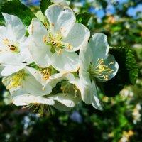 Яблони цветут :: Надежда Смирнова
