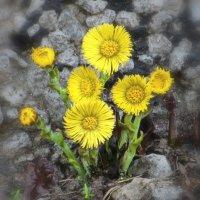 И на камнях растут цветы, ведь это украшение Матушки Земли. :: Анна Приходько