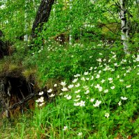 Луговые цветы Анемоны :: Сергей Царёв