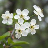 Цветы вишни :: Aнна Зарубина