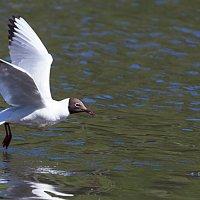 Озёрная чайка :: Анатолий Иргл