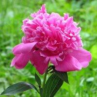 До чего вальяжен он – нежно-розовый пион! :: Татьяна Смоляниченко