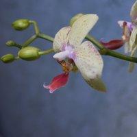 орхидея Dendrobieae :: Юрий