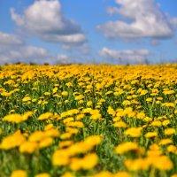 одуванчики, нескончаемое поле..... :: Альберт