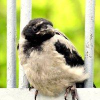 Молодая ворона 1 :: Сергей