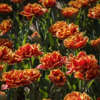 «… Тюльпаны – это дивные цветы , Кто раз увидел , чары их познает..» :: Андрей Нибылица