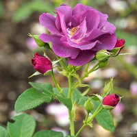 редкая гостья-роза :: Олег Лукьянов