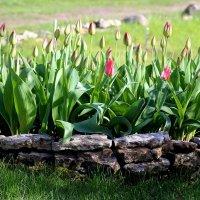 Тюльпаны :: Marina Pavlova
