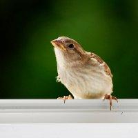 шустрик :: linnud