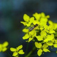 муха на цветах... :: juriy luskin