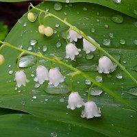 Ландыши после дождя :: Павлова Татьяна Павлова