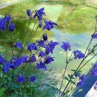 Аквилегия над водой :: Nina Yudicheva