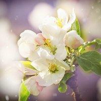 Яблоневый цвет :: Ольга