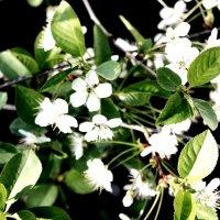 Ветка вишни :: Сергей Кочнев