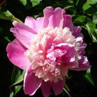 Нежен сладкий аромат пиона... :: Тамара (st.tamara)