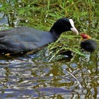 Водяная курица Лысуха кормит птенчика... :: Sergey Gordoff