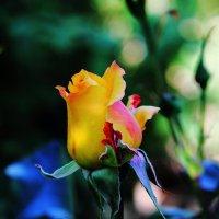 Розовый рай :: Юрий Гайворонский