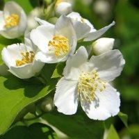 На радость всем жасмин цветёт -  цвет белый так ему идёт! :: Татьяна Смоляниченко