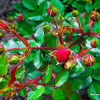 Бордюрная роза вся в бутонах... :: Любовь К.