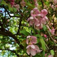 Один раз в год сады цветут... :: Татьяна Помогалова
