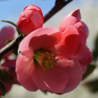 Цвет китайской яблони) :: Дина Дробина