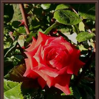 Кораловая роза :: Владимир Бровко