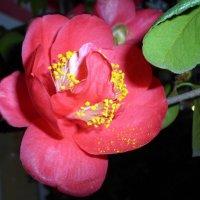 Камелия японская - цветущая красота :: Елена Павлова (Смолова)