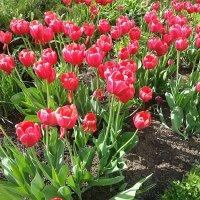 Тюльпаны, тюльпаны  Весны ! :: Наталья Владимировна