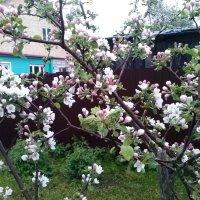 Яблоня   в  цвету :: Мила
