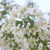 Цветут сады всего один лишь раз :: Анастасия Рябкова