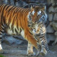 Тигры. :: Виктор Шпаков