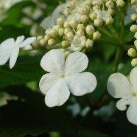 Цветки калины :: Дарья Лаврухина