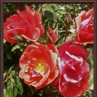 Розы :: Владимир Бровко