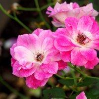розовые розы :: Олег Лукьянов