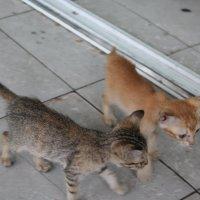 котята Сайгона :: maikl falkon