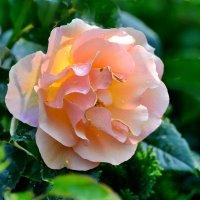 Свежесть розы :: Valentina M.