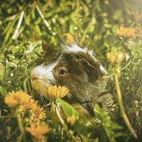 марская    свинка :: Андрей Выровой
