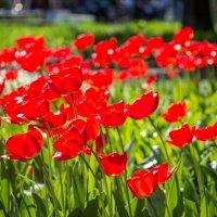 Красота весны - тюльпаны! :: Андрей Гриничев
