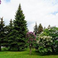 Сиреневый сад. :: Larisa Ereshchenko