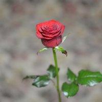 Роза :: Виктор Орехов